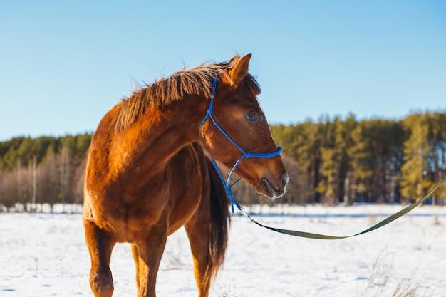 Cheval rouge dans un champ d'hiver enneigé