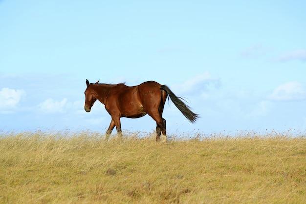 Cheval sauvage marchant sur la colline, île de pâques, chili, amérique du sud