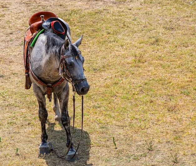 Le cheval sellé sur la pelouse avec un chapeau de cowboy attendant les touristes