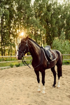 Cheval sellé se dresse sur le sable dans le paddock au coucher du soleil