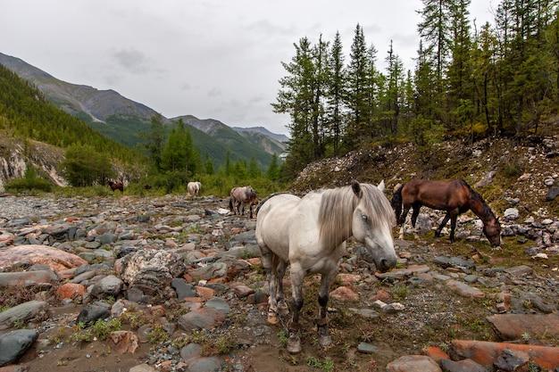 Des chevaux blancs et bruns paissent sur un sol pierreux dans les montagnes. les pattes des chevaux sont attachées. forêt autour et chaînes de montagnes au loin contre un ciel nuageux. horizontal.