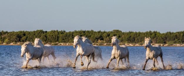 Des chevaux blancs de camargue courent dans la réserve naturelle des marais