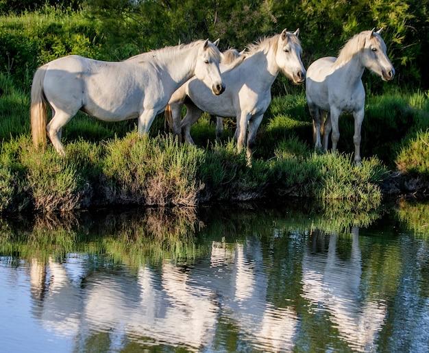 Chevaux blancs de camargue debout dans la réserve naturelle des marais