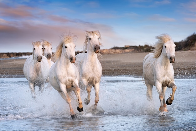 Chevaux blancs en camargue, france.