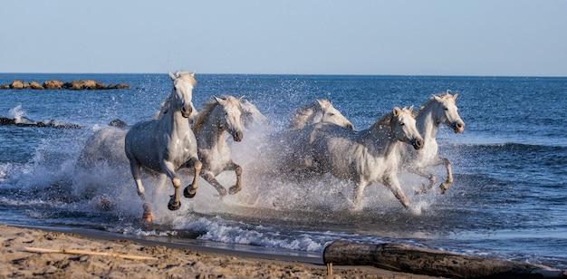 Chevaux blancs de camargue galopant le long de la plage de la mer