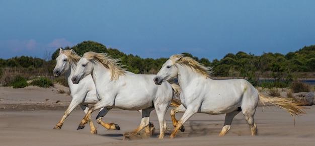 Des chevaux blancs de camargue galopent sur le sable