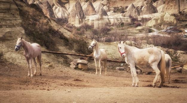 Chevaux blancs sur le fond de beaux rochers en cappadoce turquie