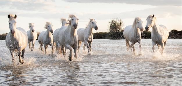 Des chevaux blancs galopent dans l'eau partout sur la mer en camargue, france.
