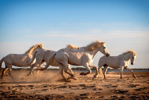 Les chevaux blancs marchent dans le sable dans tout le paysage de camargue, sud de la france