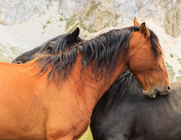 Chevaux bruns et noirs se grattant le dos avec la bouche. concept de faune sauvage