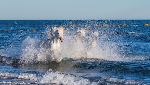 Les chevaux de camargue courent magnifiquement le long de l'eau dans le lagon