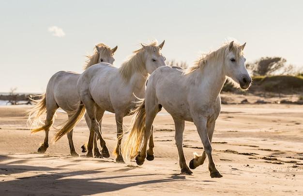 Les chevaux de camargue courent magnifiquement sur le sable