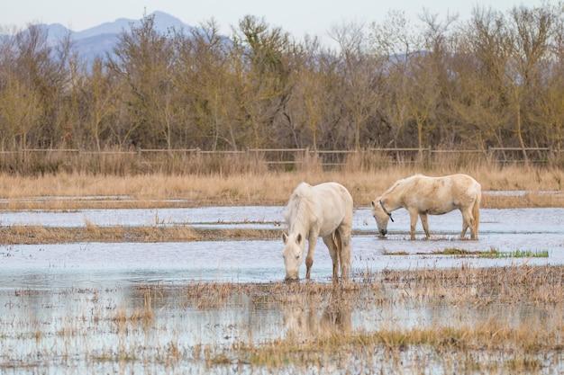 Chevaux de camargue dans le parc naturel des marais d'ampurdán, gérone, catalogne, espagne