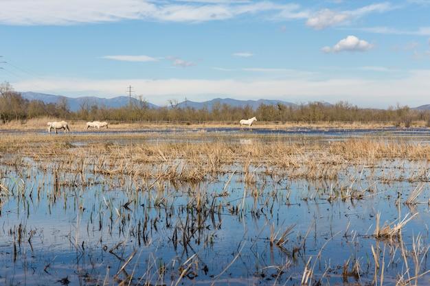 Chevaux de camargue dans le parc naturel des marais