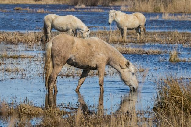 Chevaux de camargue dans le parc naturel d
