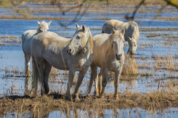 Chevaux de camargue dans le parc naturel