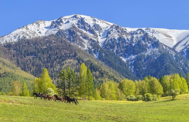 Les chevaux courent à travers le champ dans le contexte de montagnes enneigées