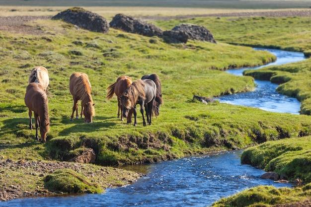 Chevaux Dans Un Champ Vert D'herbe Au Paysage Rural De L'islande Photo Premium