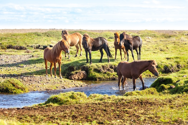 Chevaux dans un champ vert d'herbe au paysage rural de l'islande