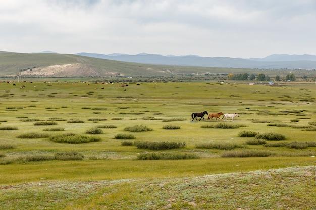 Chevaux dans la steppe mongole, paysage mongol