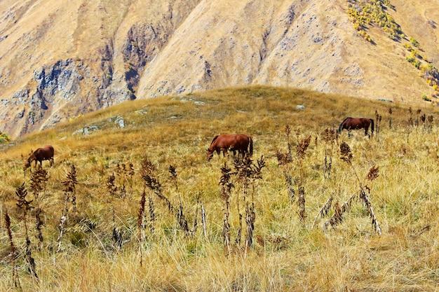 Chevaux dans la vallée, paysage et scène de la faune en géorgie.