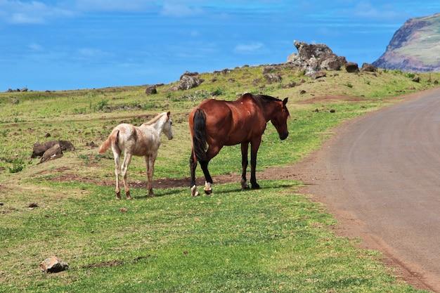 Chevaux sur l'île de pâques du chili
