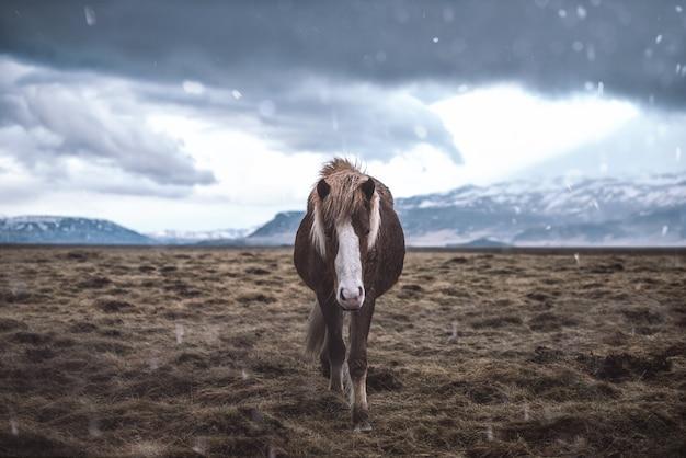 Chevaux islandais courir librement