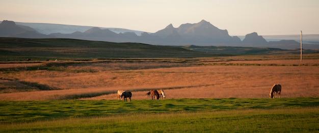 Chevaux islandais dans les pâturages, montagnes escarpées derrière