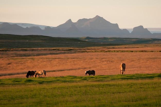 Chevaux paissant dans un pâturage avec des montagnes en arrière-plan au soleil du soir