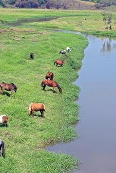 Chevaux paissant sur les rives de la rivière bleue
