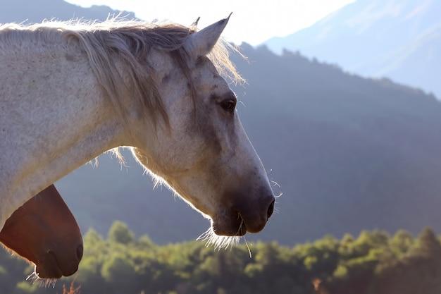 Les chevaux paissent dans les montagnes à l'aube