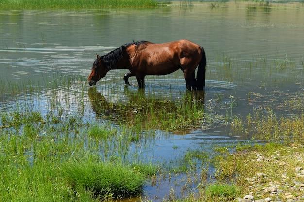 Les chevaux paissent le long de la rive du lac