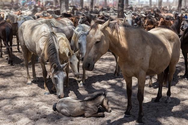 Les chevaux protègent le petit cheval malade et fatigué.