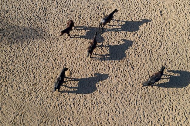 Chevaux pur-sang dans la vue de dessus du paddock