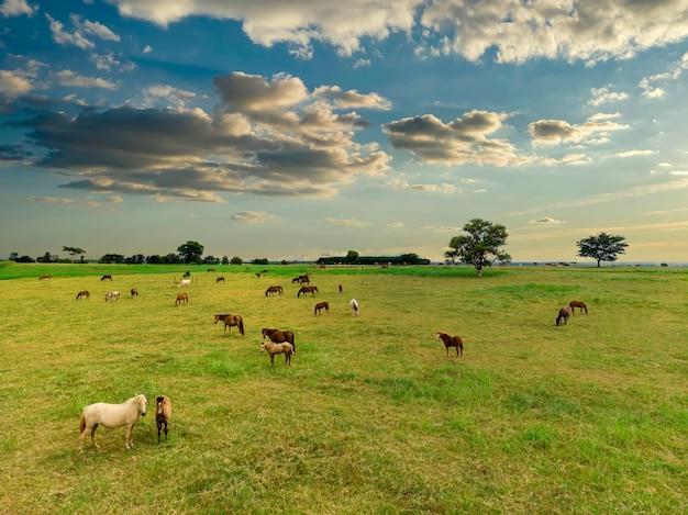 Chevaux pur-sang paissant au coucher du soleil dans un champ.