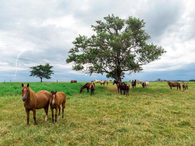 Chevaux pur-sang paissant au jour nuageux dans un champ.