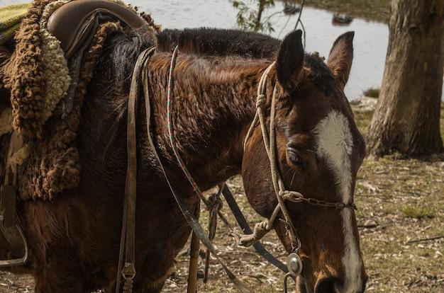Chevaux de race créole à la ferme.