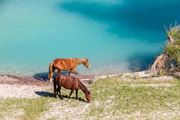 Chevaux et vaches à la rivière