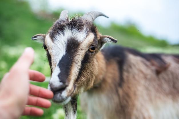 Chèvre Amicale Dans Le Pré Vert. Photo Premium