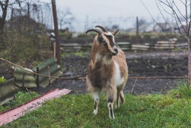 Chèvre attachée sur la pelouse verte