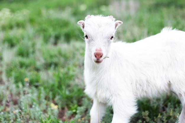 Chèvre de bébé blanc mignon dans l'herbe verte du pré.
