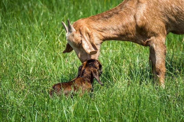 Chèvre bébé un nouveau-né tente de se lever obtenir de l'aide et prendre soin de chèvre mère