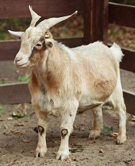 Chèvre beige