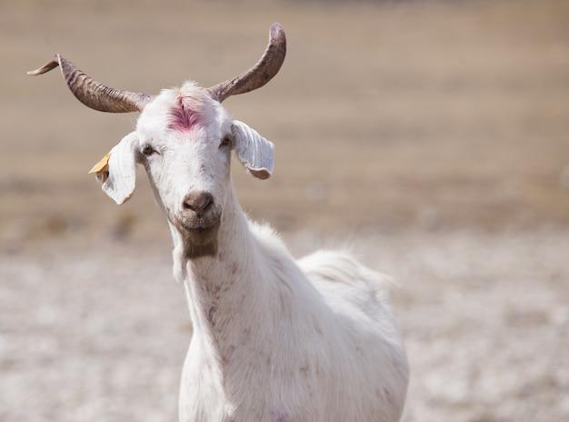 Chèvre blanche dans une ferme sous la lumière du soleil