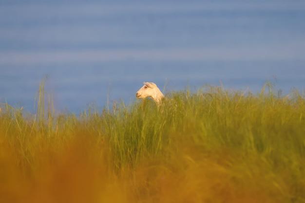 Une chèvre blanche est photographiée dans l'herbe dense sur fond de l'eau bleue de l'estuaire