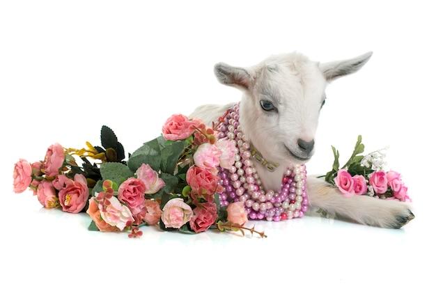 Chèvre blanche et fleurs