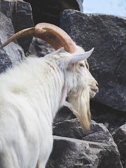 Chèvre blanche avec de grandes cornes sur des pierres