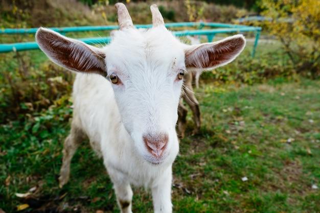 Chèvre blanche, gros plan