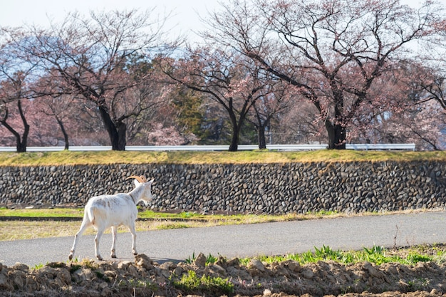 Chèvre blanche marchant sur route avec arbre sakura cerise à matsumoto, japon. animal de ferme dans la nature.