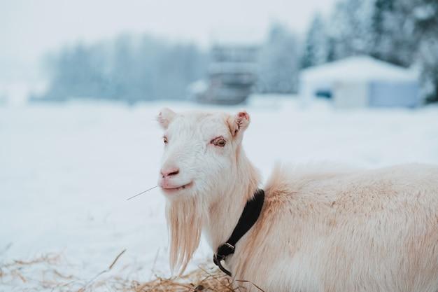 Chèvre blanche sur la neige dans le village